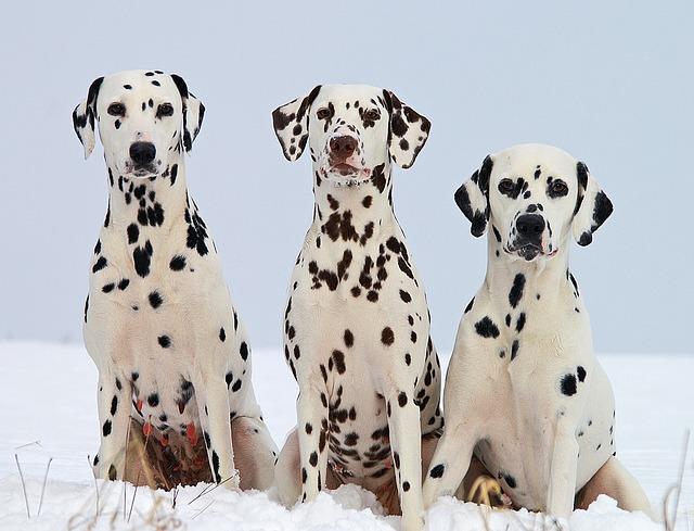 dalmatian trio toy