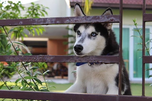 husky dog looking through fence