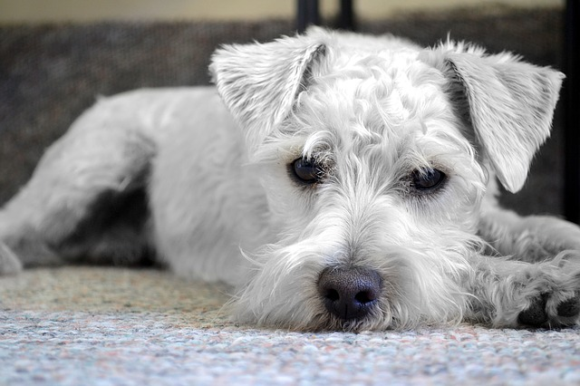 schnauzer bored dog