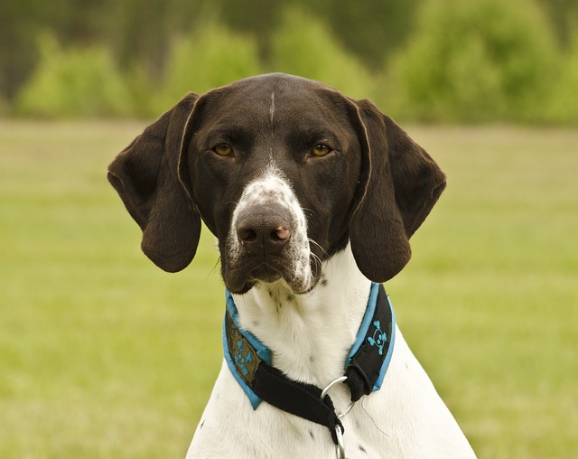 short-haired-german-shorthaired-pointer-2120184_640
