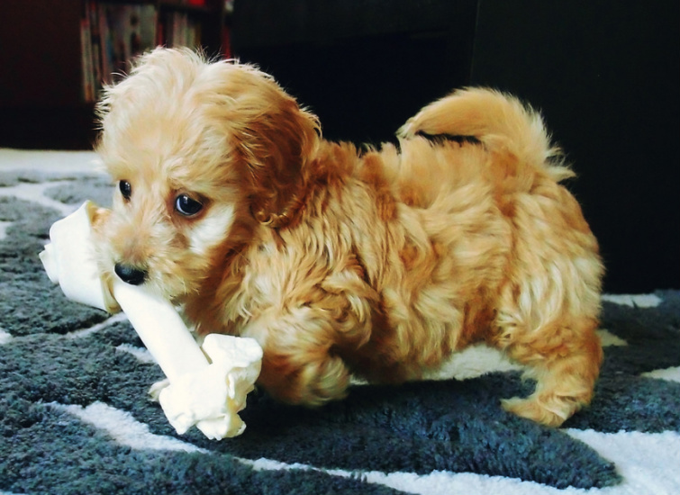 Doxiepoo Dog Breed Temperament Diet And Training