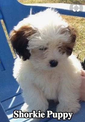 Shorkie Dog Temperament Diet And Training Platpets