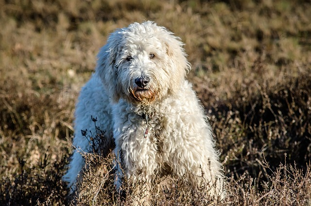 Goldendoodle Dog Breed Temperament Diet and Training