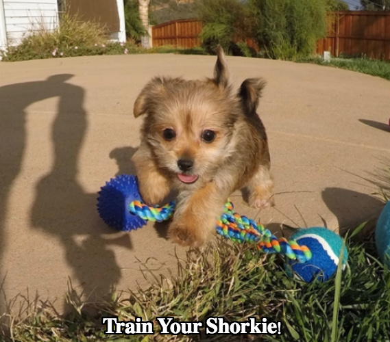 Shorkie Dog Temperament Diet and Training - Platpets