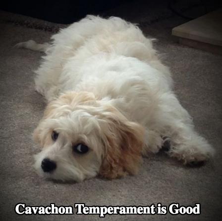 Cavachon Dog Breed Temperament Diet Training And Training