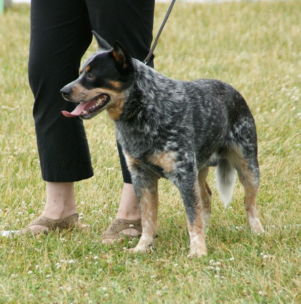 Blue Heeler Dog Breed Temperament T