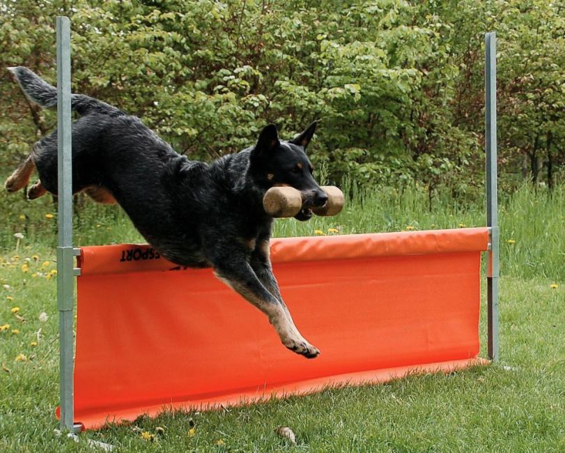 Blue Heeler Dog Breed Temperament Diet And Training