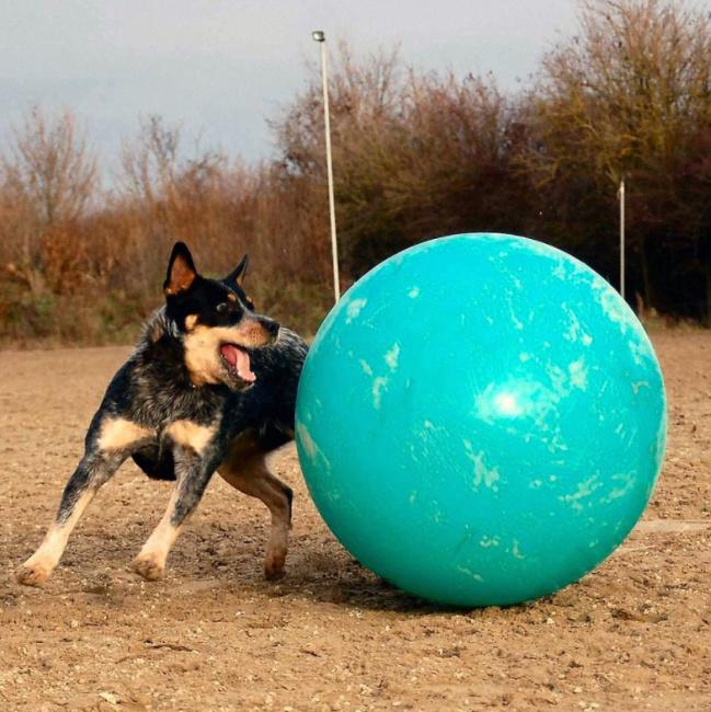 Blue Heeler Dog Breed Temperament Diet And Training - Platpets ...