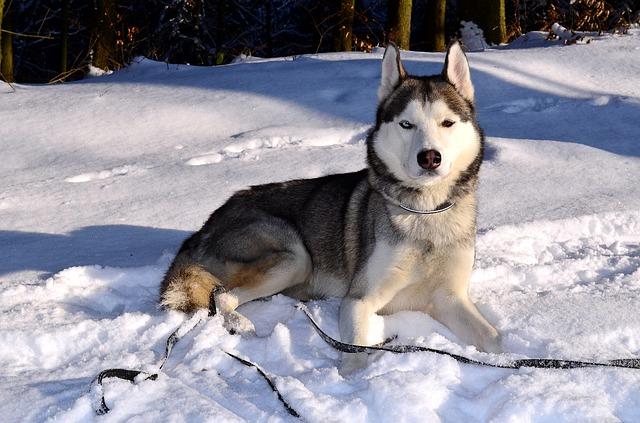 Amado Alaskan Husky Dog Breed Temperament Diet Training - Platpets  SC31