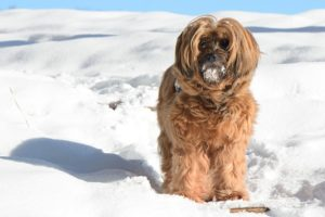 Tibetan Terrier Dogs That Don T Shed Platpets Training