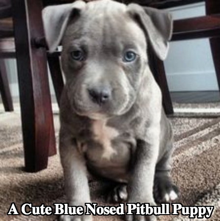 Blue Nose Pitbull Dog Breed Temperament Diet And Training Platpets
